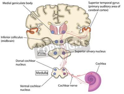 Vías nerviosas auditivas desde la cóclea en el oído hasta el ...