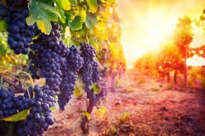 Póster viñedo con uvas maduras en el campo al atardecer