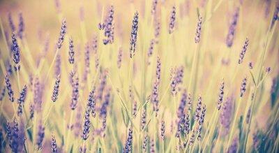 Póster Vintage toned lavender flower, shallow depth of field.
