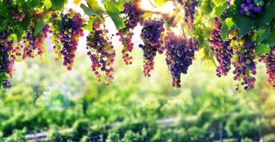 Póster Viticultura The Sun que madura Las uvas
