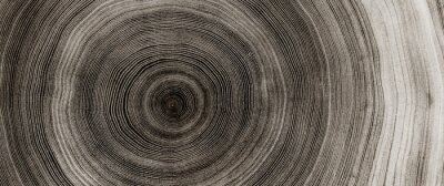 Póster Warm gray cut wood texture. Detailed black and white texture of a felled tree trunk or stump. Rough organic tree rings with close up of end grain.