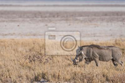 Warthog caminando por la sartén de Etosha
