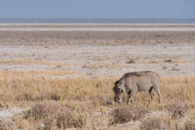 Warthog pastando a lo largo de Etosha Pan