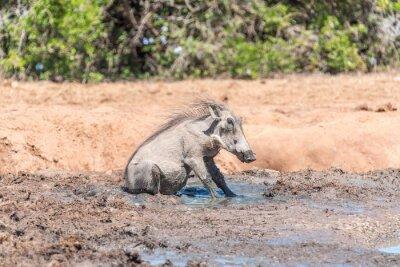 Warthog sentado en el barro