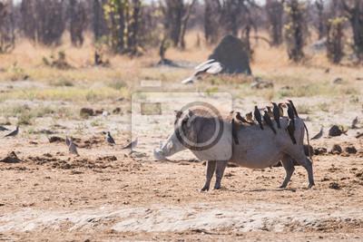 Warthog y Oxpeckers