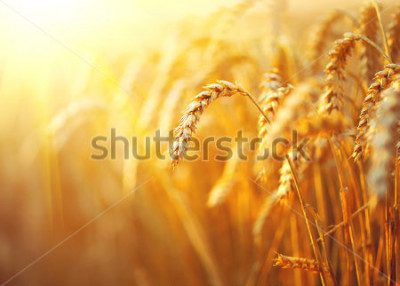 Póster Wheat field. Ears of golden wheat close up. Beautiful Nature Sunset Landscape. Rural Scenery under Shining Sunlight. Background of ripening ears of meadow wheat field. Rich harvest Concept