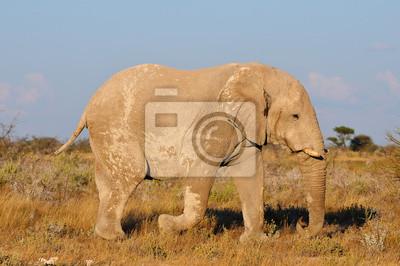White Elephant, el Parque Nacional de Etosha, Namibia