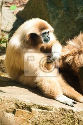 -White Handed Gibbon Sentarse