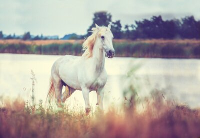 Póster white horse is running on the lake shore