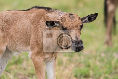 Wildebeest del bebé