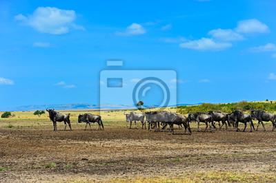 Wildebeest en la sabana salvaje africana Kenia