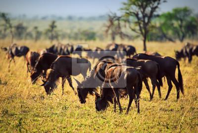 Wildebeests manada, ñu en la sabana africana. Safari en el Serengeti