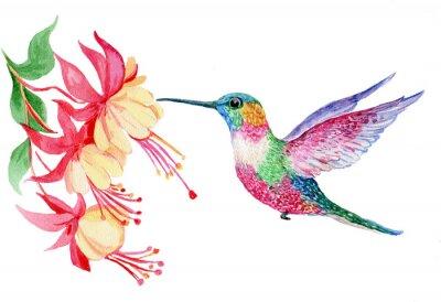 Póster Акварель, маленькая птичка колибри, иллюстрация