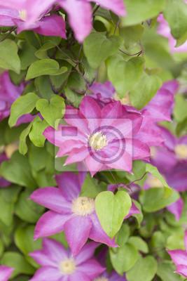クレマチス の 花