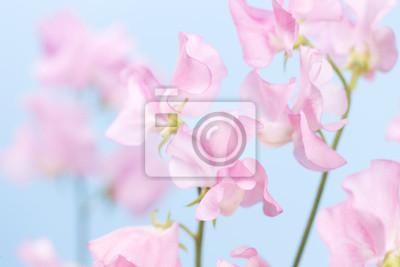 スイトピー の 花