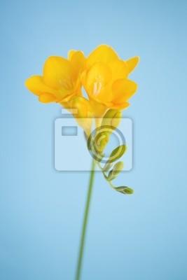 フリージア の 花