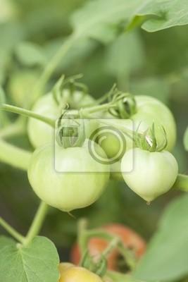 青い トマト