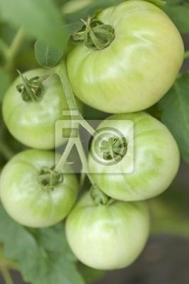 トマト 畑