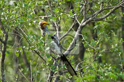 Yellow-Billed Hornbill en el árbol