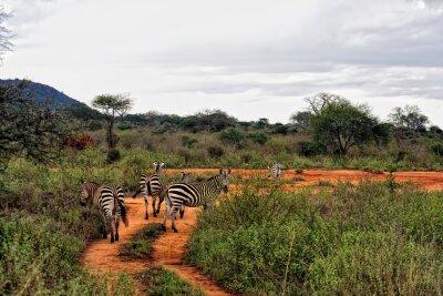 Póster Zebra