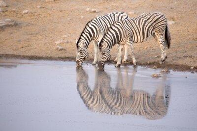 Póster Zebra bebiendo de un agujero de agua