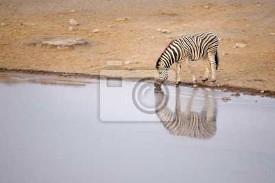 Zebra bebiendo de un agujero de agua