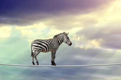 Póster Zebra caminando sobre una cuerda