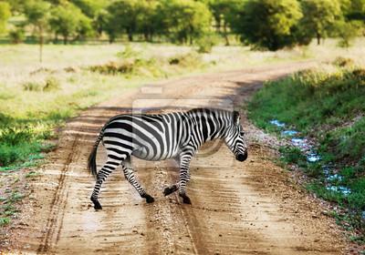 Zebra caminar en la carretera en la sabana africana. Safari en el Serengeti