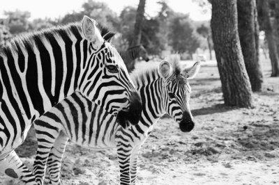 Póster Zebra in Safari en Tel Aviv