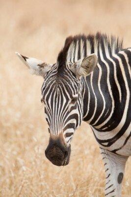 Póster Zebra retrato, Parque Kruger, Sudáfrica