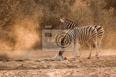 Zebra waterhole amanecer
