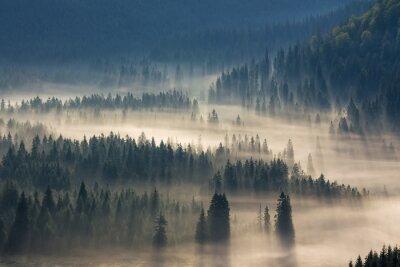 Vinilo Abetos en una pradera por la voluntad de bosque de coníferas en las montañas de niebla