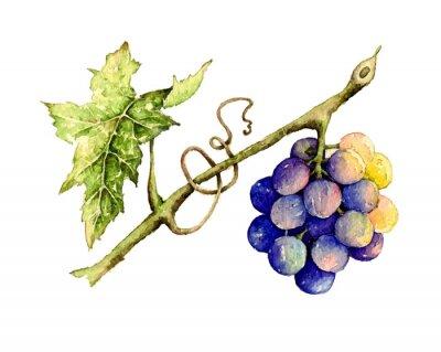 Vinilo Acuarela ilustración de la uva