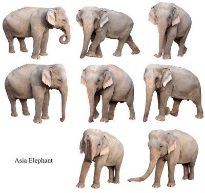 Vinilo aislado elefante asiático femenino