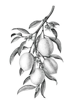 Vinilo Aislante blanco y negro del clip art del vintage de la ilustración de la rama del limón en el fondo blanco
