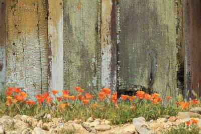 Vinilo Amapolas de California anaranjadas brillantes que crecen junto a una cerca de madera resistida.