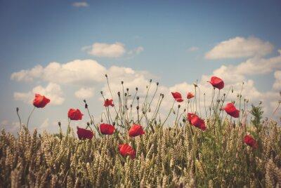 Vinilo Amapolas rojas en el campo de trigo