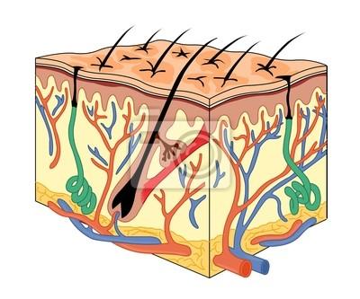 Anatomía de la piel vinilos para portátiles • vinilos para la pared ...