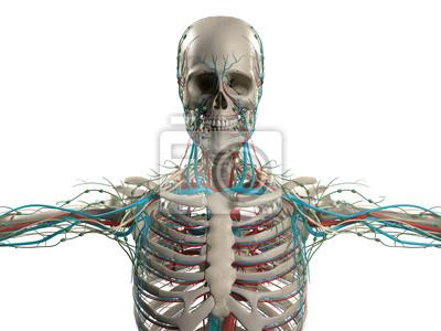 Anatomía humana mostrando la cabeza, los hombros y el torso, vinilos ...