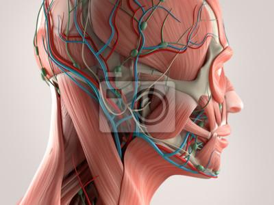 Anatomía humana que muestra el sistema muscular de cara y cabeza ...