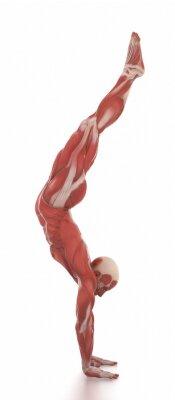 Vinilo Anatomía, músculo, mapa, blanco, aislado, calentamiento, postura