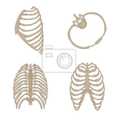 Anatomía ósea costillas, lateral, trasera, frontal y transversal ...
