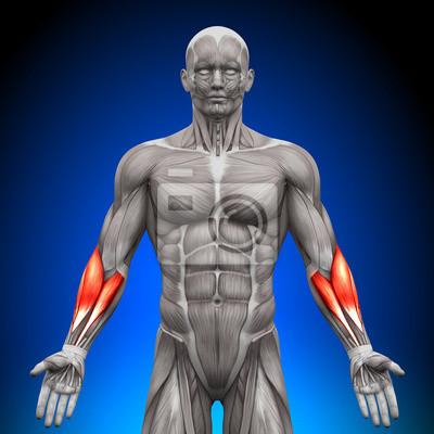 Antebrazos - anatomía músculos vinilos para portátiles • vinilos ...