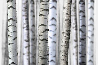Vinilo árboles de abedul sin costura