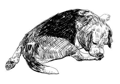 Vinilo Beagle está mordiendo suavemente sobre el mismo de la pierna.