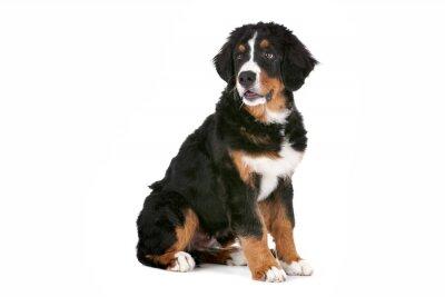 Vinilo Berner cachorro de perro de montaña