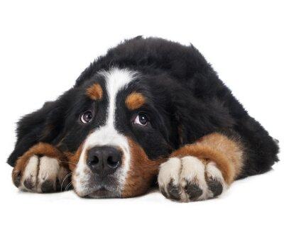 Vinilo Berner Sennenhund sobre un fondo blanco en el estudio, perro triste