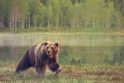 Vinilo Big Bear pie masculino en el pantano al atardecer