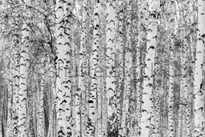 Vinilo Birch forest winter landscape, black and white photo