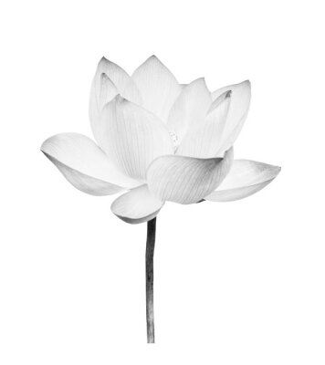 Vinilo Black and white Lotus flower isolated on white background. File contains with clipping path so easy to work.